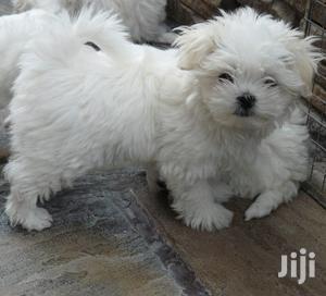 Baby Female Purebred Maltese