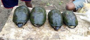 Live Tortise For Sale   Reptiles for sale in Greater Accra, Tema Metropolitan