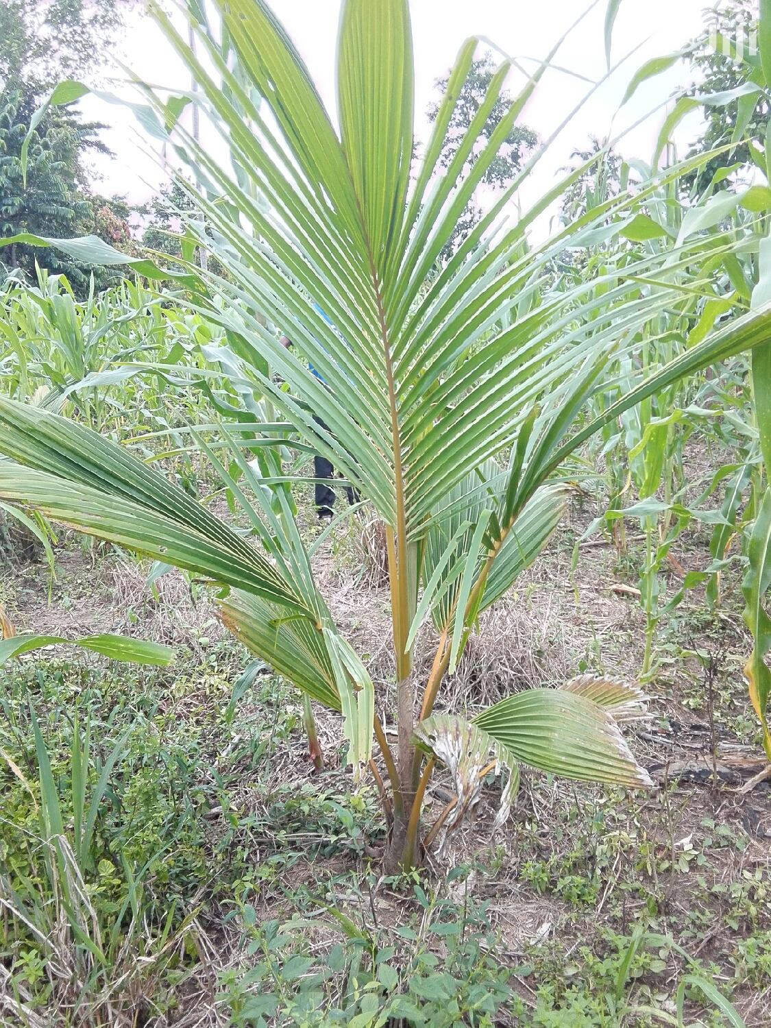 Coconut Seedlings Certified | Feeds, Supplements & Seeds for sale in Ga South Municipal, Greater Accra, Ghana