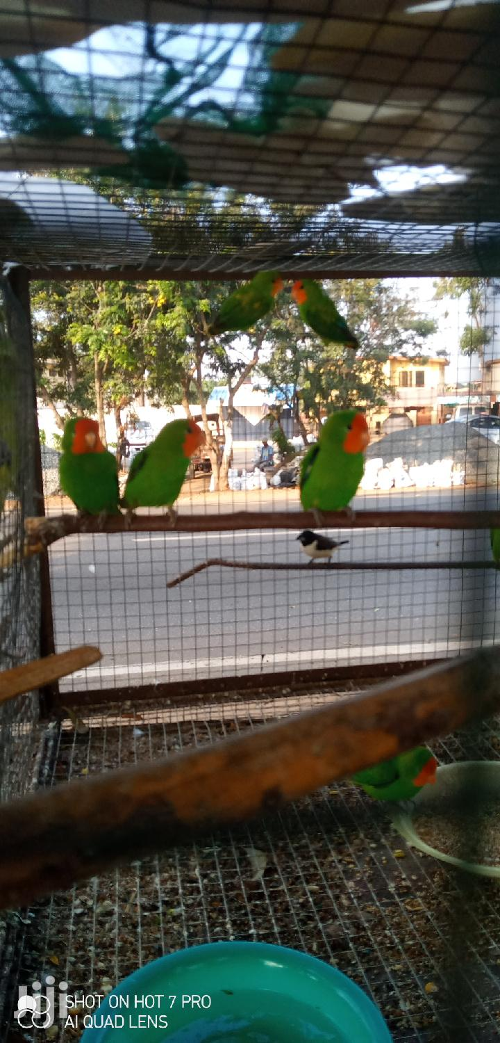 10 Lovebirds | Birds for sale in Tema Metropolitan, Greater Accra, Ghana