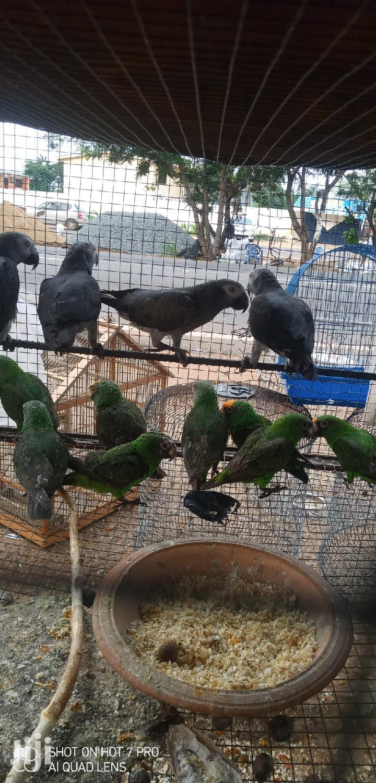 Timneh African Grey Parrot | Birds for sale in Tema Metropolitan, Greater Accra, Ghana