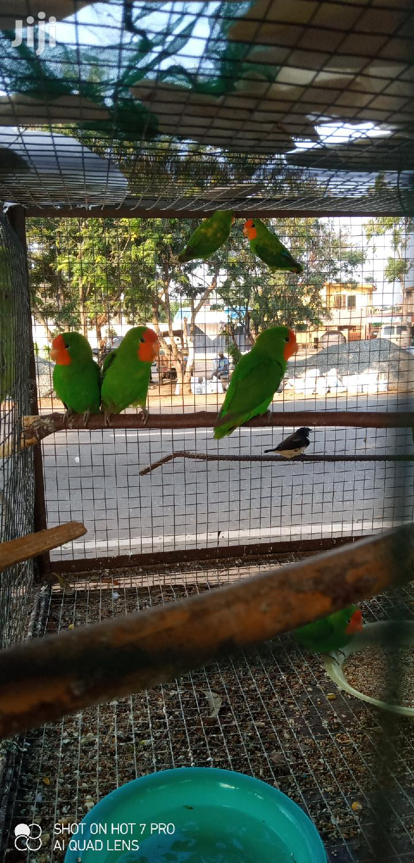Cheap Lovebirds | Birds for sale in Tema Metropolitan, Greater Accra, Ghana