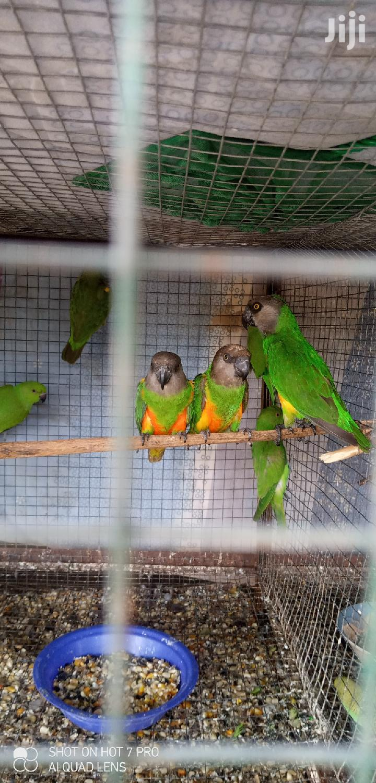 Senegal Parrot | Birds for sale in Tema Metropolitan, Greater Accra, Ghana