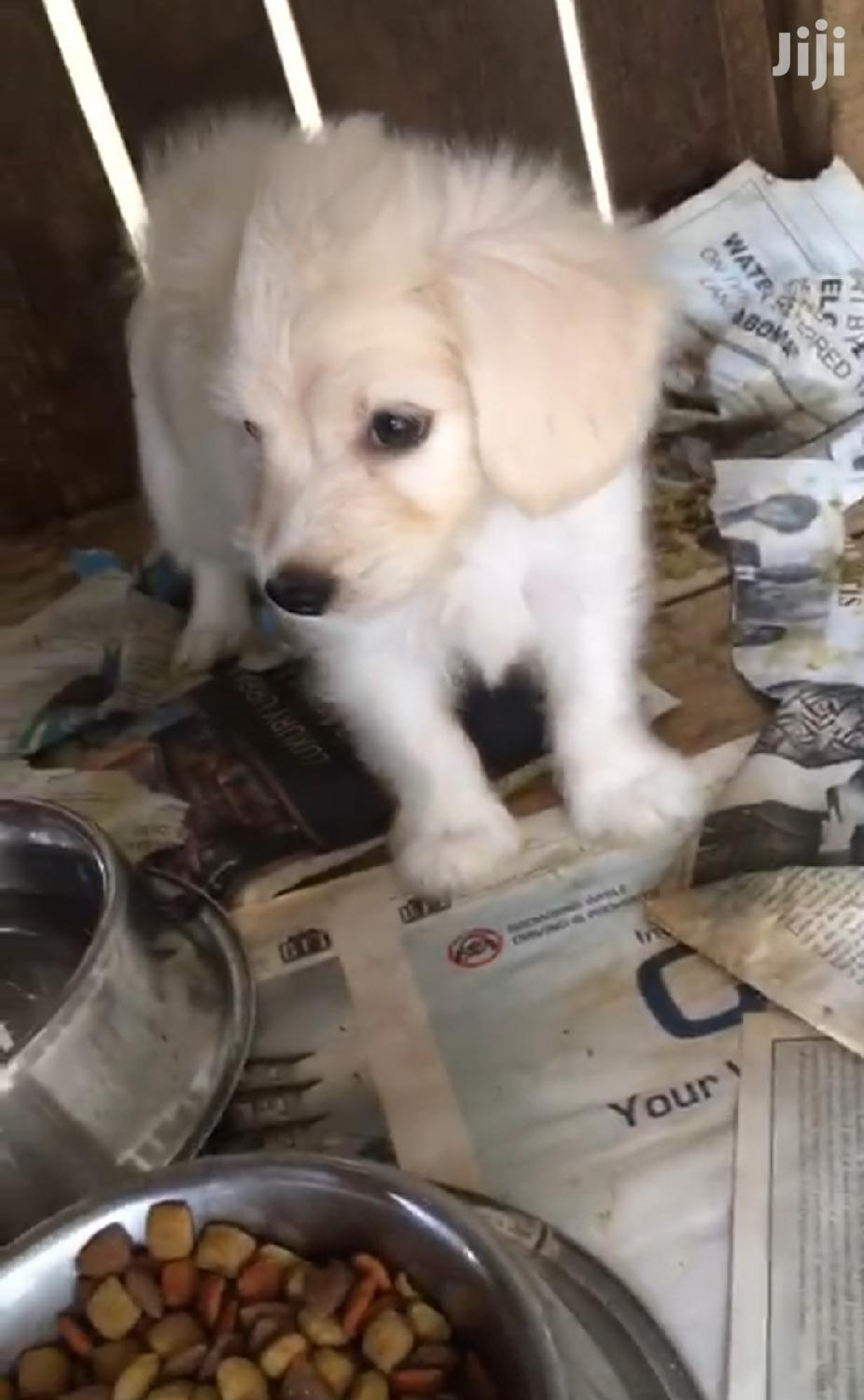 Baby Male Purebred Poodle | Dogs & Puppies for sale in Osu, Greater Accra, Ghana