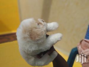 Baby Male Purebred Maltese Shih Tzu