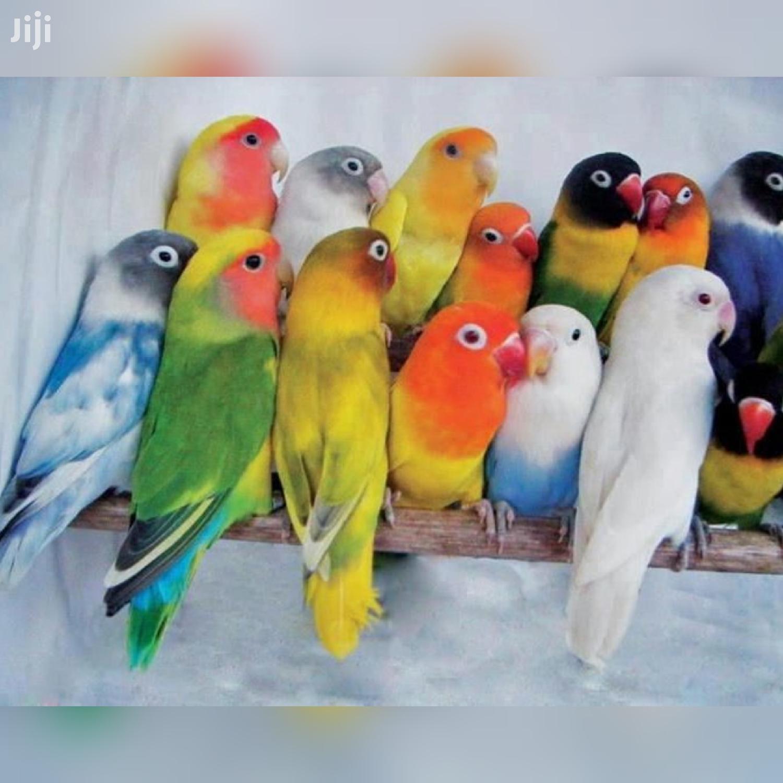 Foreign Love Birds