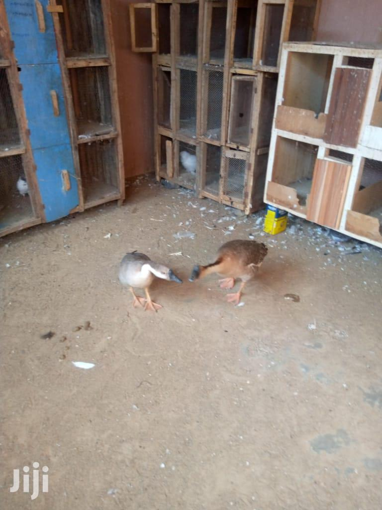 Swan 🦢 Geese   Livestock & Poultry for sale in Accra Metropolitan, Greater Accra, Ghana