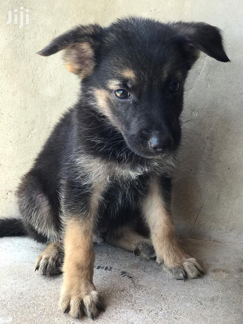 Baby Male Purebred German Shepherd | Dogs & Puppies for sale in Adenta Municipal, Greater Accra, Ghana
