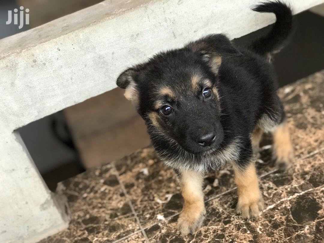 Baby Male Purebred German Shepherd