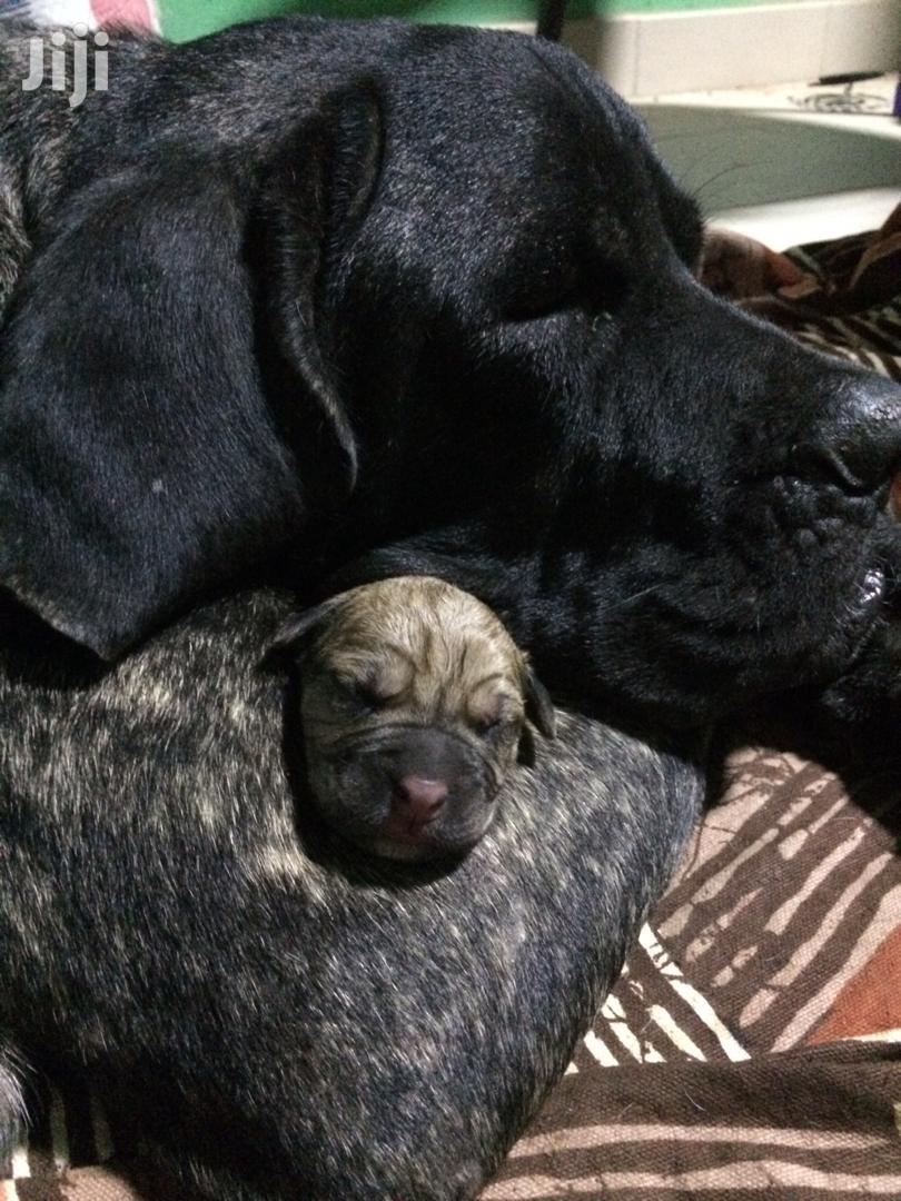 Baby Female Purebred Boerboel   Dogs & Puppies for sale in Accra Metropolitan, Greater Accra, Ghana