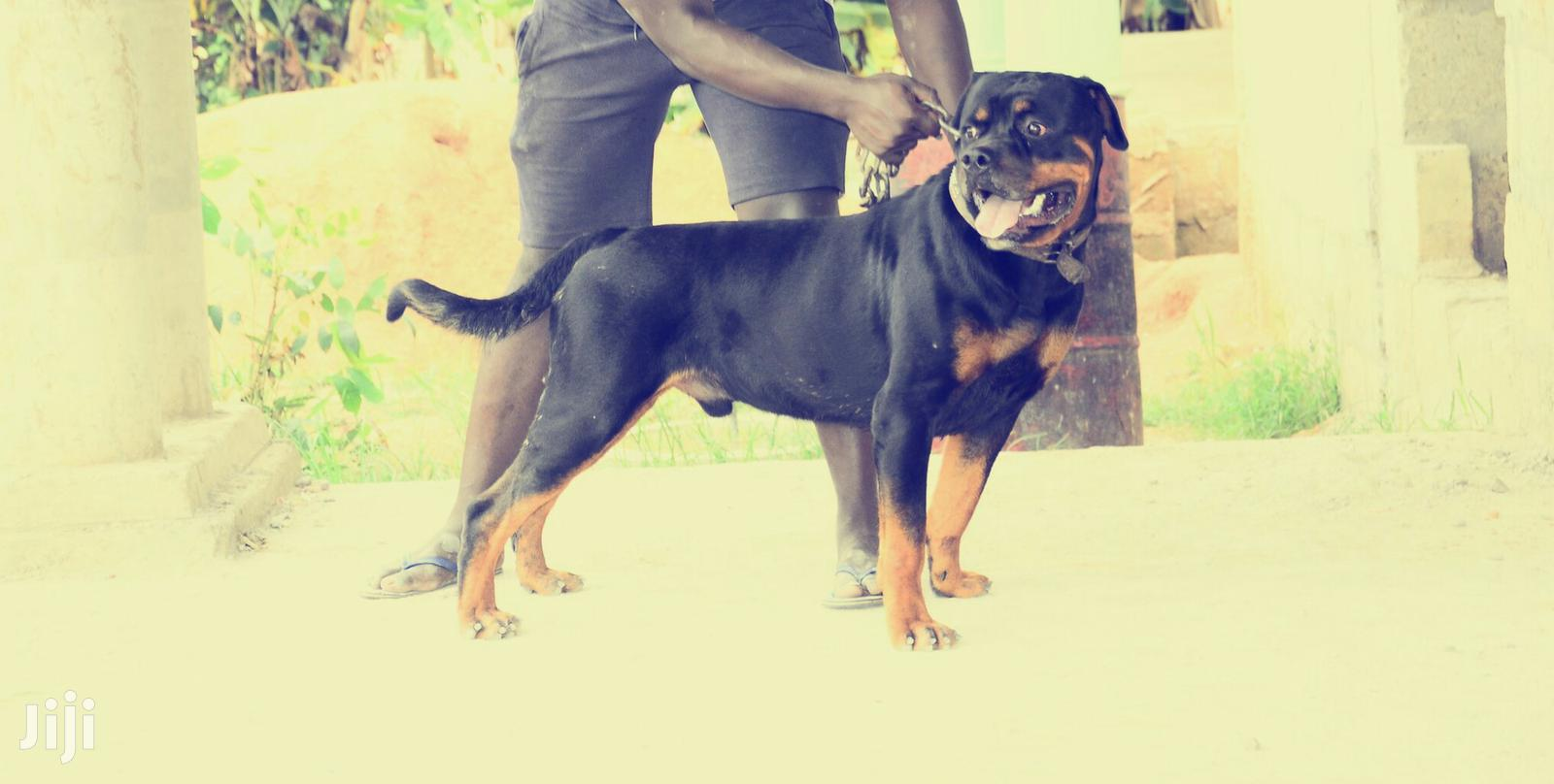 Archive: Adult Male Purebred Rottweiler