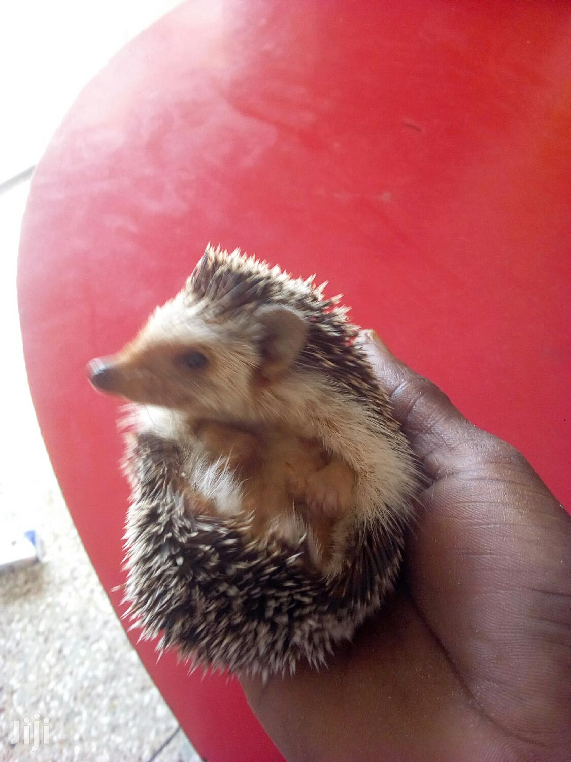 Male Hedgehog | Other Animals for sale in Mampong Municipal, Ashanti, Ghana