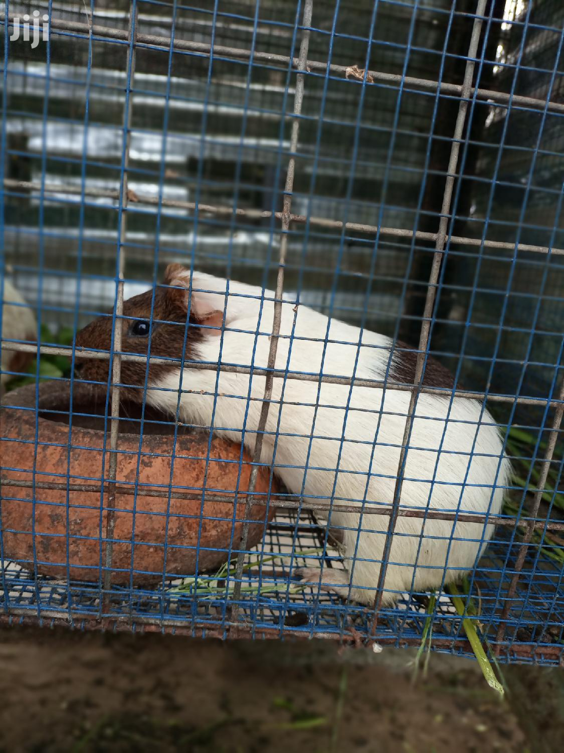 Archive: Healthy Fat Guinea Pigs