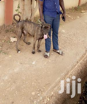 Adult Male Purebred Labrador Retriever