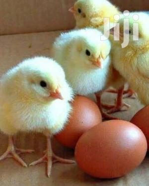 Broiler Chicks For Sale   Livestock & Poultry for sale in Greater Accra, Asylum Down