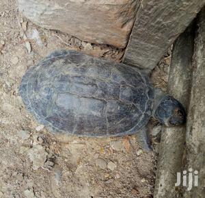 Lovely Tortoise   Reptiles for sale in Western Region, Shama Ahanta East Metropolitan