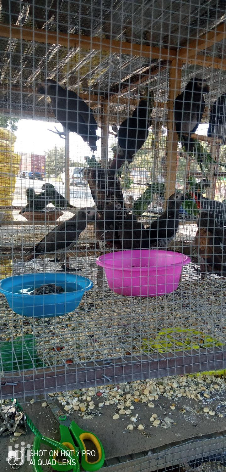 Timneh Grey Parrot (Wholesale)