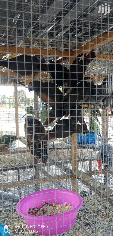 Timneh Grey Parrot (Wholesale)   Birds for sale in Tema Metropolitan, Greater Accra, Ghana
