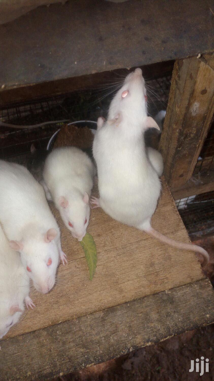 Lab Rat For Sale