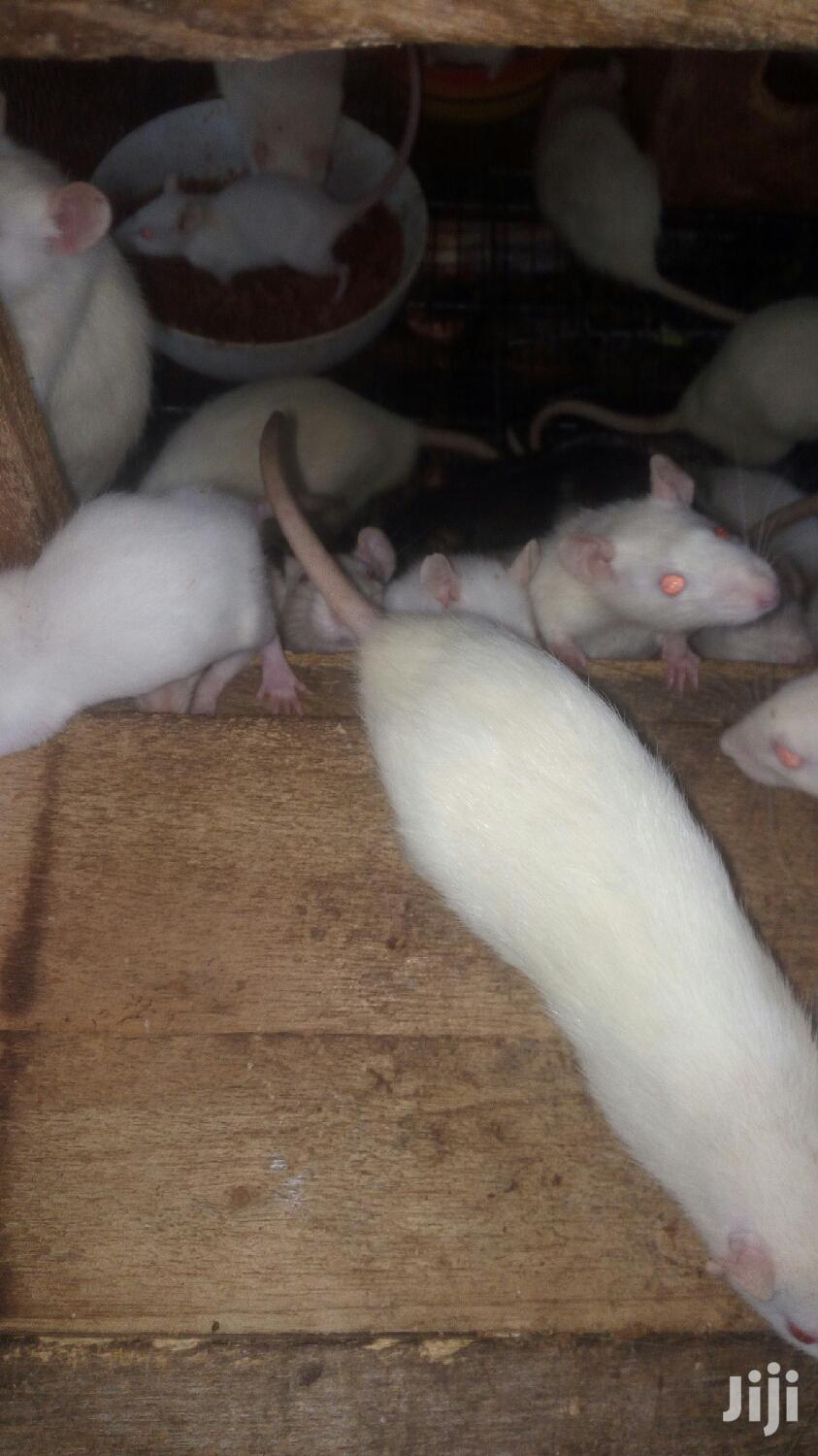 Lab Rat For Sale | Other Animals for sale in Roman Ridge, Greater Accra, Ghana