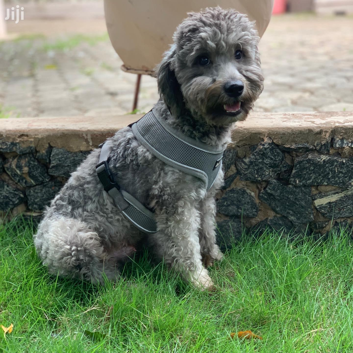 Archive: Baby Male Purebred Poodle