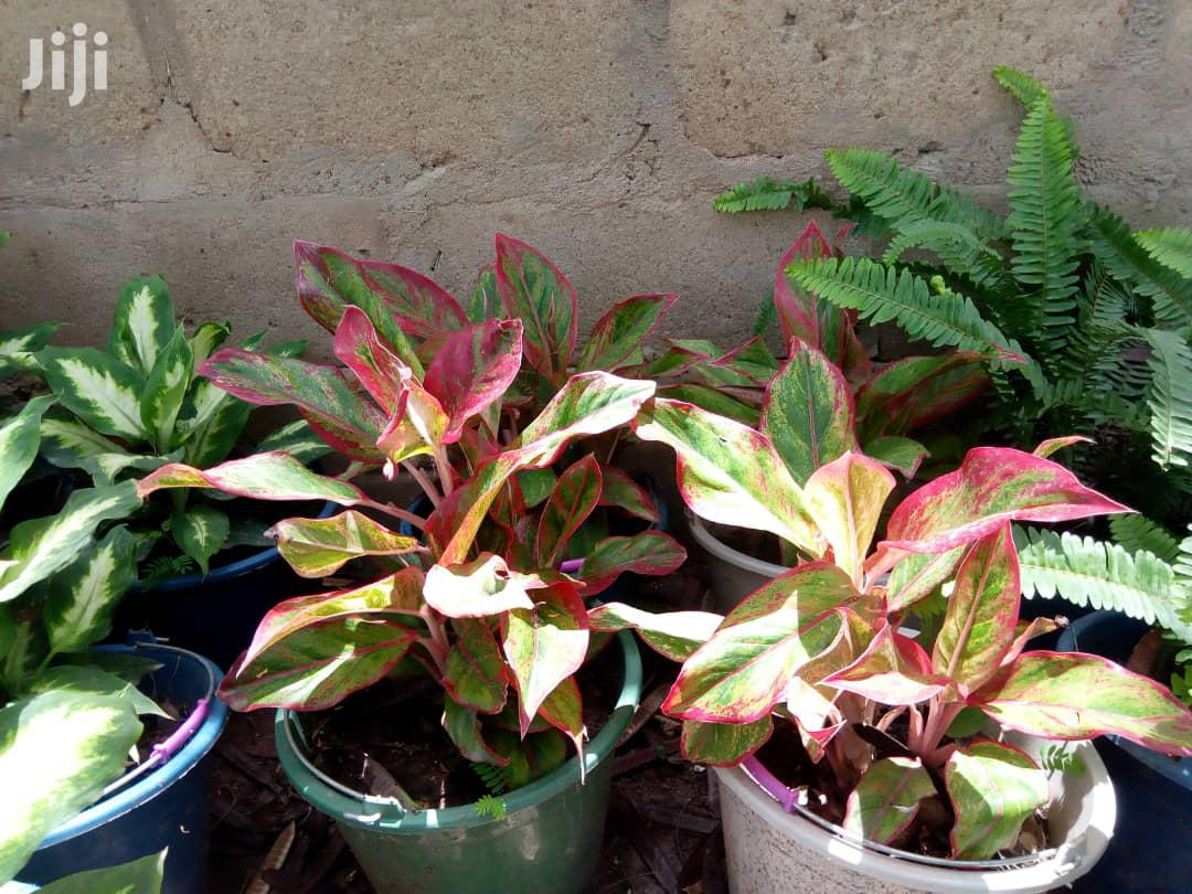 Indoor Plants.( Natural) | Garden for sale in Ga South Municipal, Greater Accra, Ghana