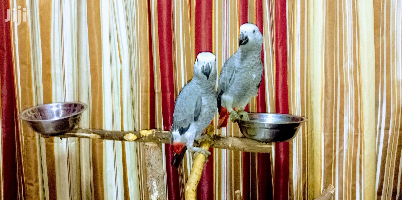 Archive: 2 Congo African Grey Parrots