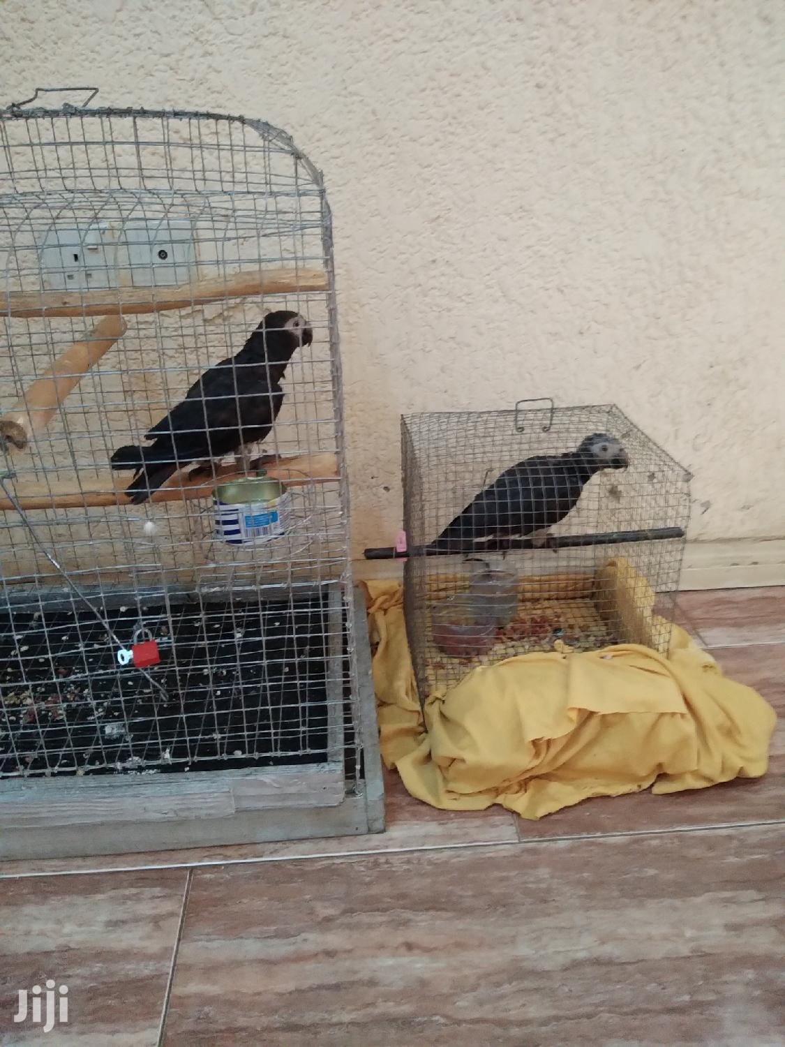 Archive: African Grey Parrot