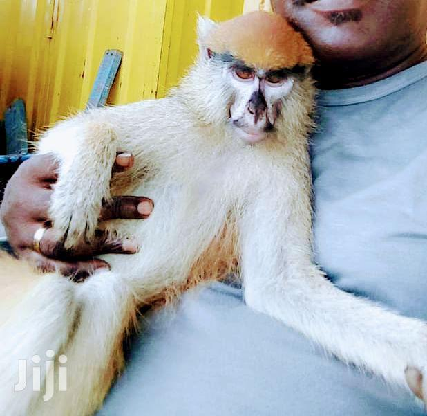 Monkey For Sale At Affordable Price