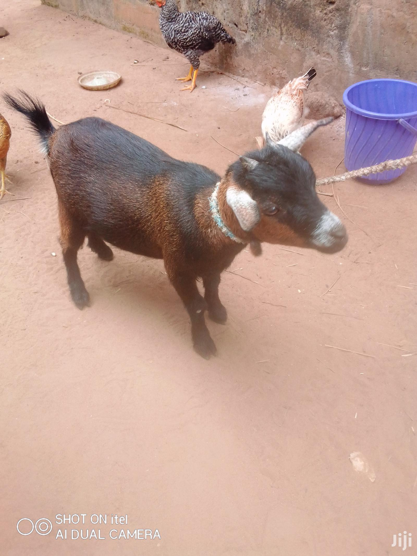 Archive: Female Goat For Sale :