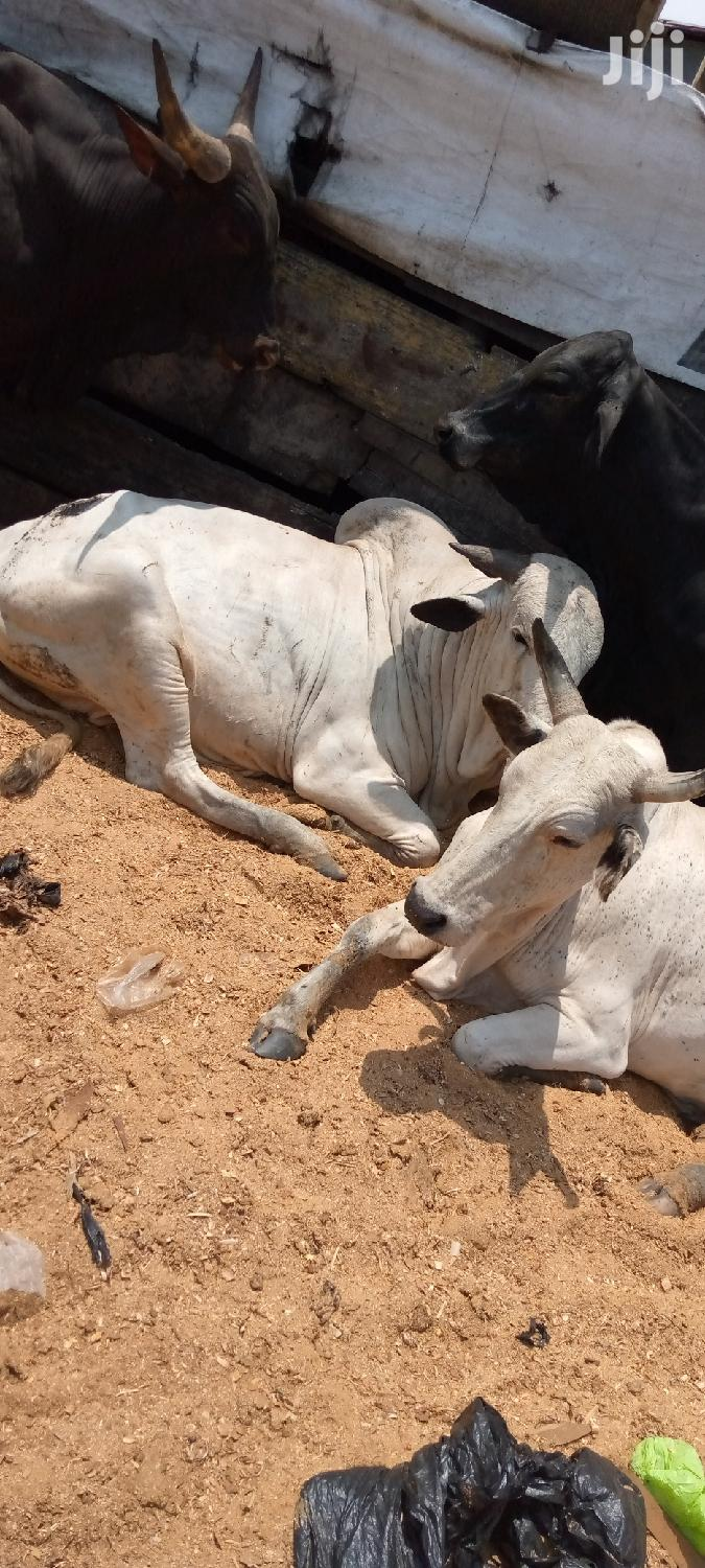 Cow And Goat Cool Price