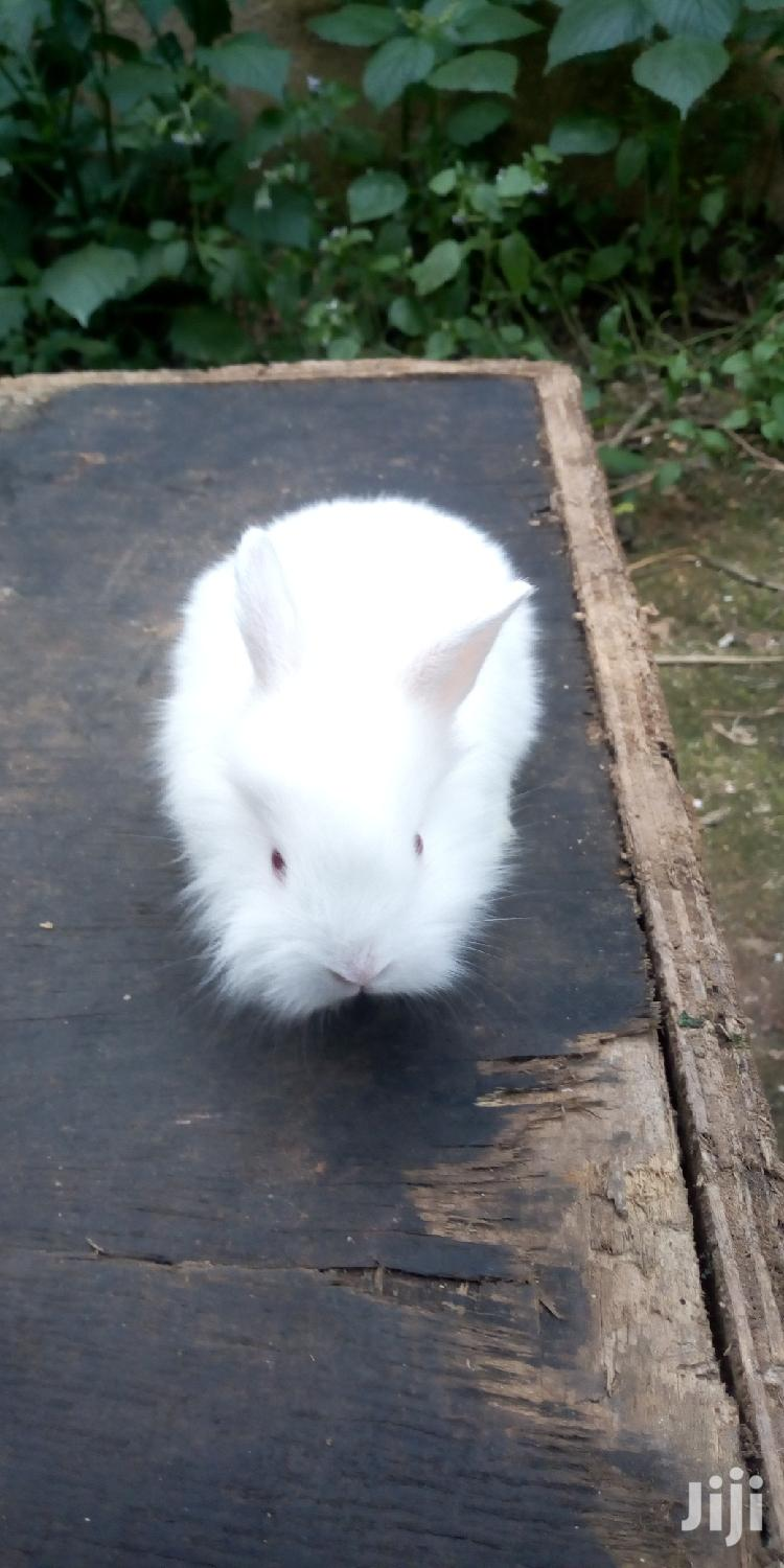 Archive: Lion Head Bunnies For Sale At A Cool Price