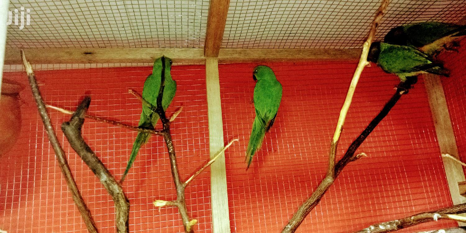 Rose-ringneck Parrots | Birds for sale in Achimota, Greater Accra, Ghana