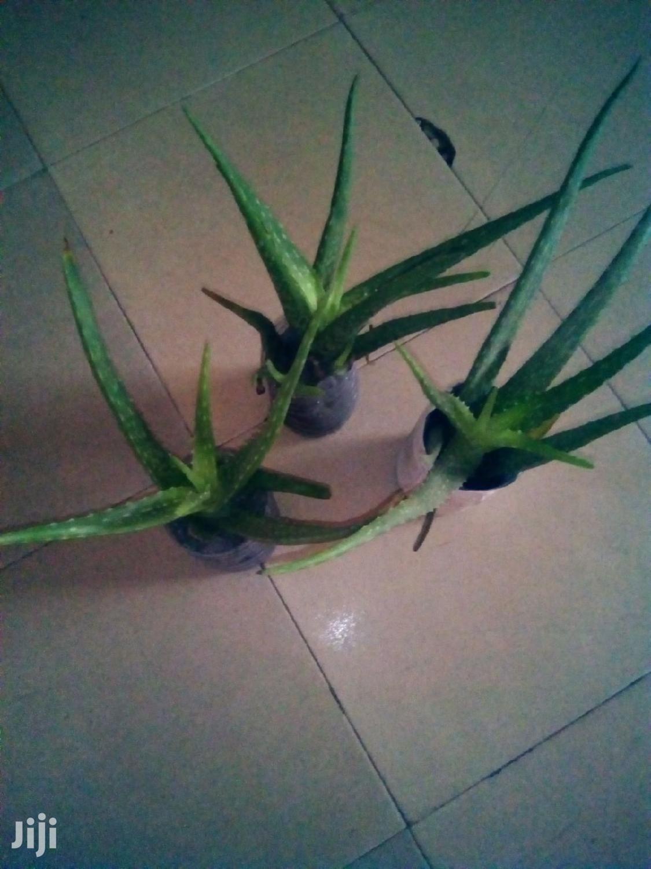 Archive: Aloe Vera Plant
