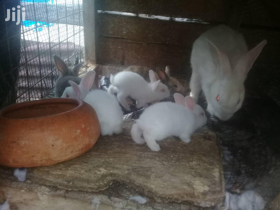 Archive: Healthy Rabbit For Breeding Available All Types