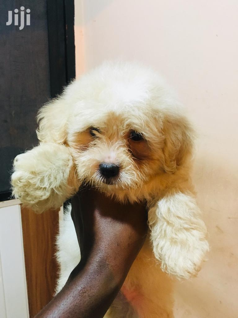 Baby Male Purebred Poodle | Dogs & Puppies for sale in New Town, Teshie, Ghana