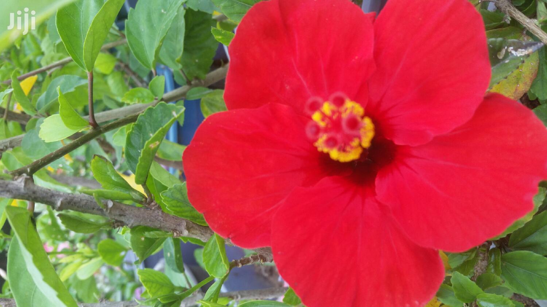 Habiscus Varieties Plant 4 Sale