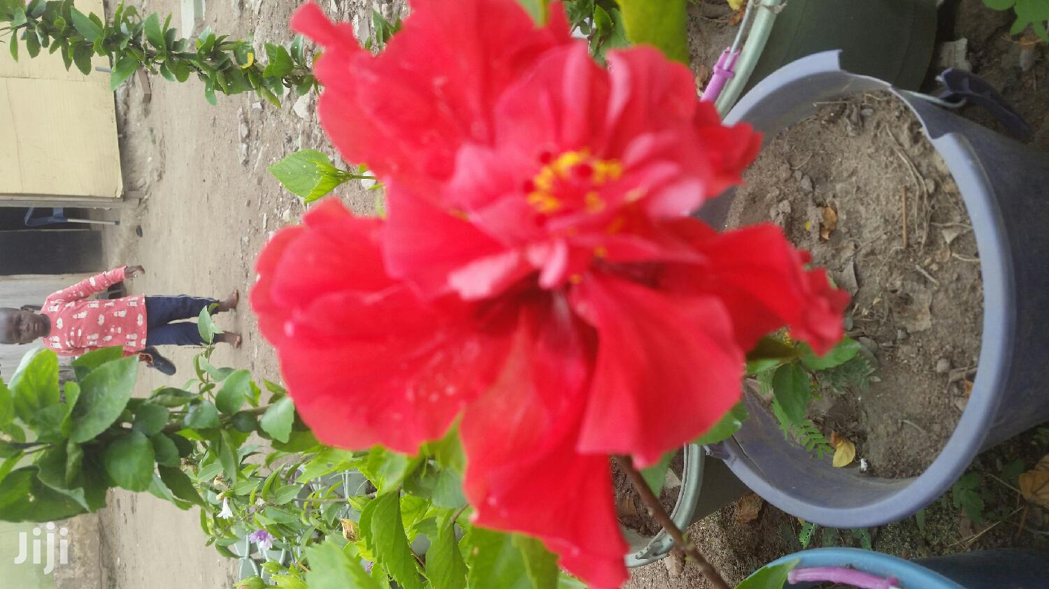 Habiscus Varieties Plant 4 Sale | Garden for sale in Ga South Municipal, Greater Accra, Ghana