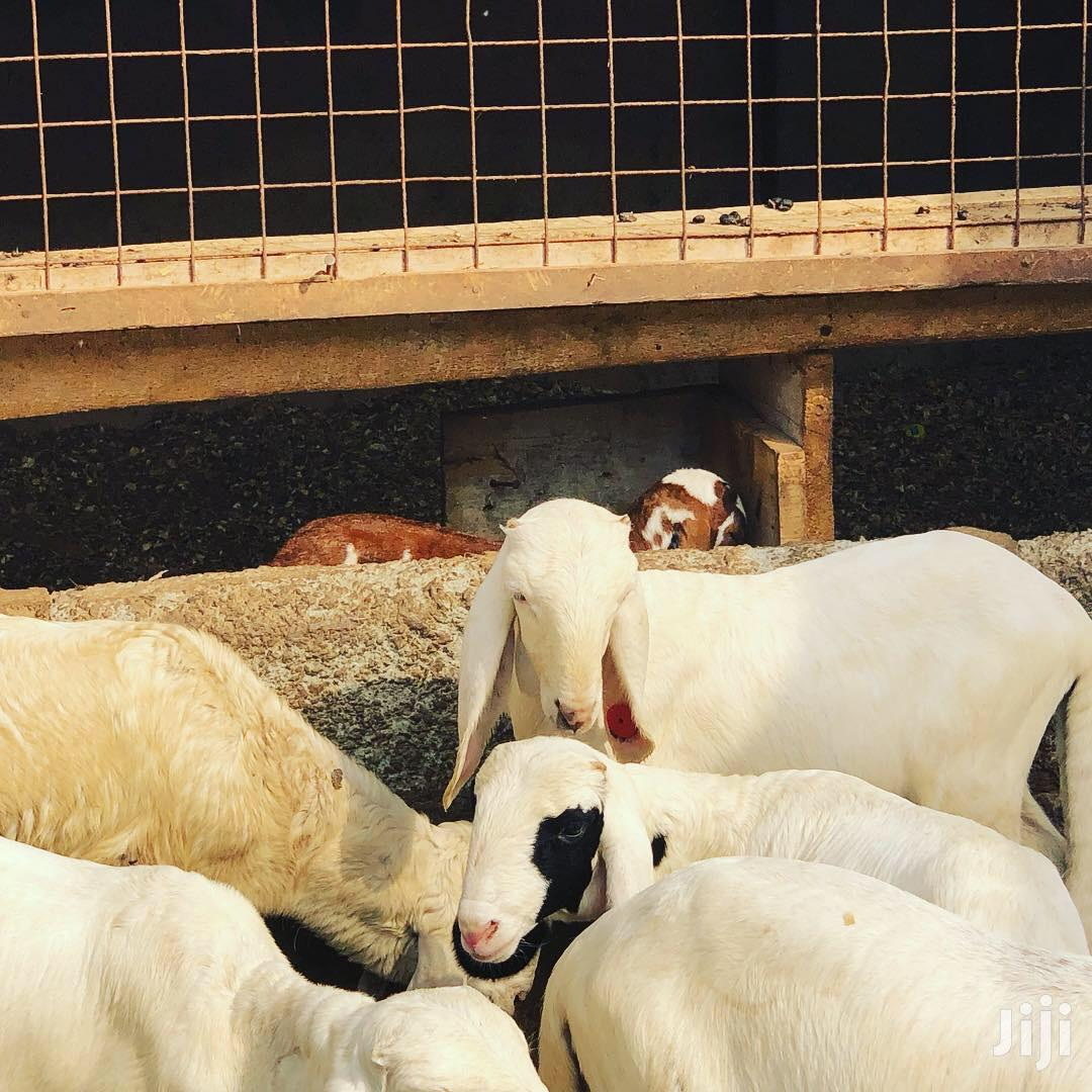Farm Animals For Sale. Both Local And Exotic Breeds | Livestock & Poultry for sale in Adenta Municipal, Greater Accra, Ghana