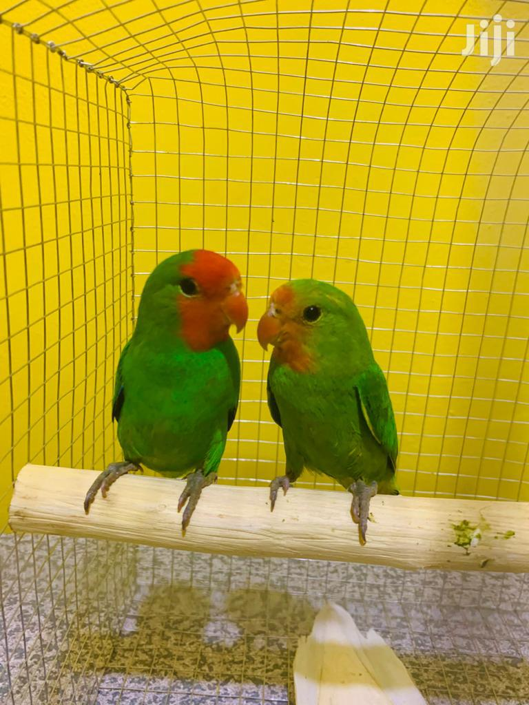 Pair Of Love Birds With Cage