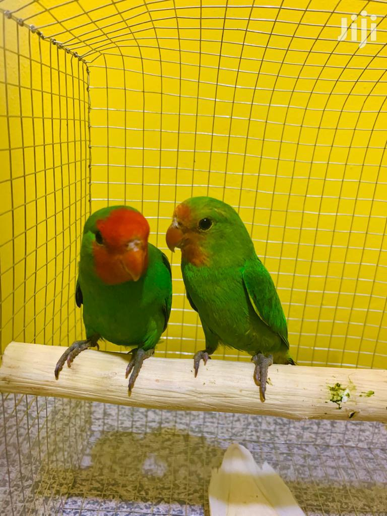 Pair Of Love Birds With Cage   Birds for sale in Dansoman, Greater Accra, Ghana