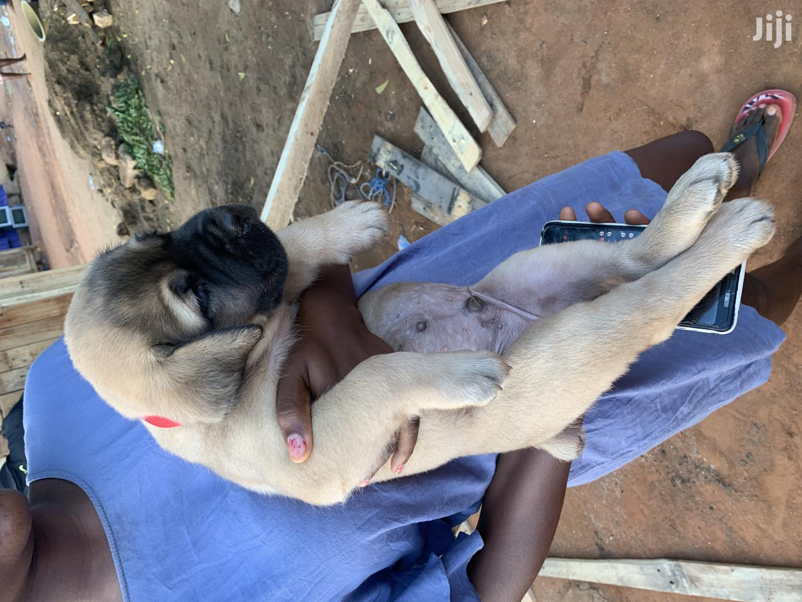 0-1 Month Male Purebred Boerboel | Dogs & Puppies for sale in Adenta, Greater Accra, Ghana