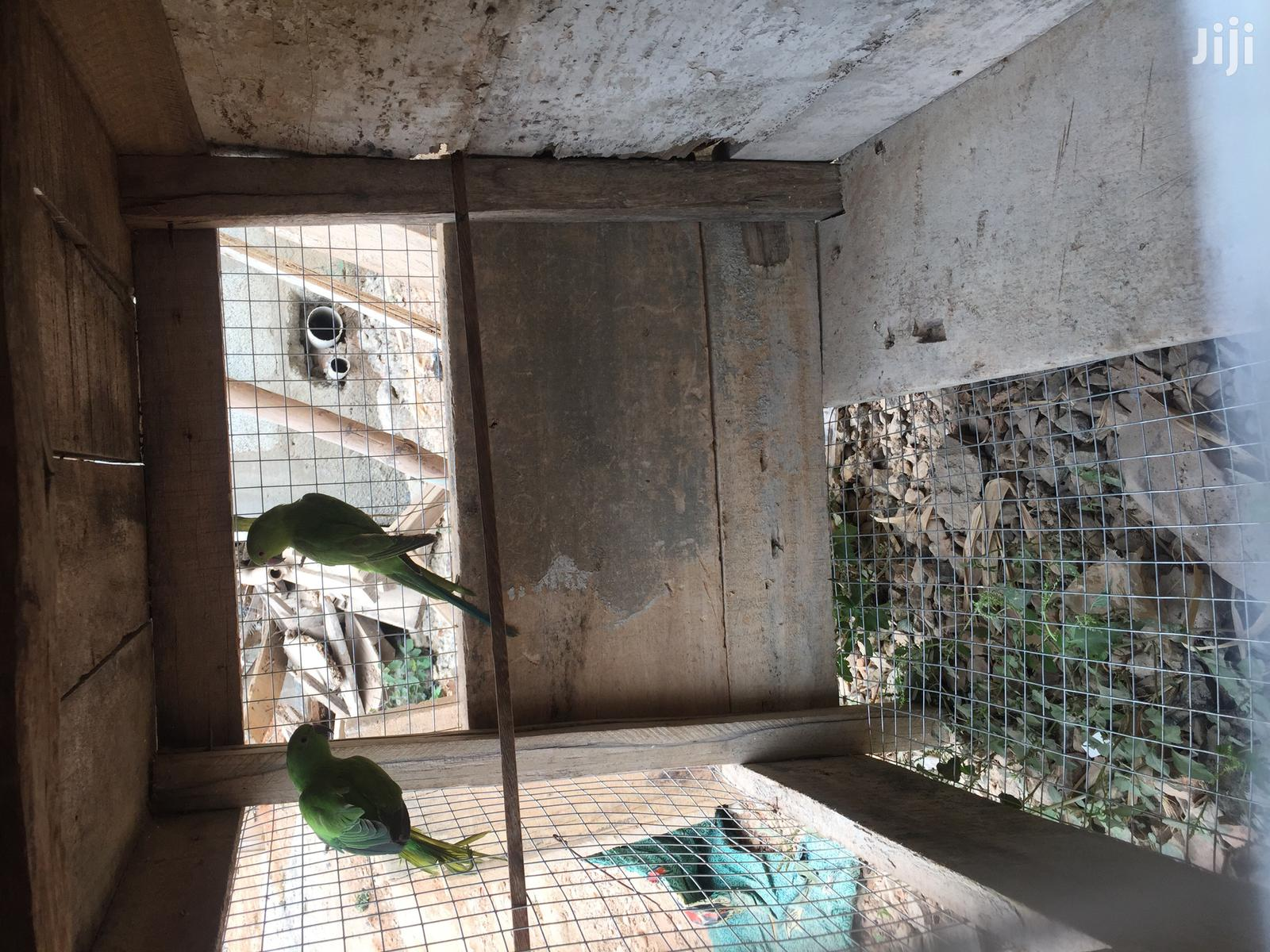 African Ringneck Parrot | Birds for sale in Abossey Okai, Greater Accra, Ghana