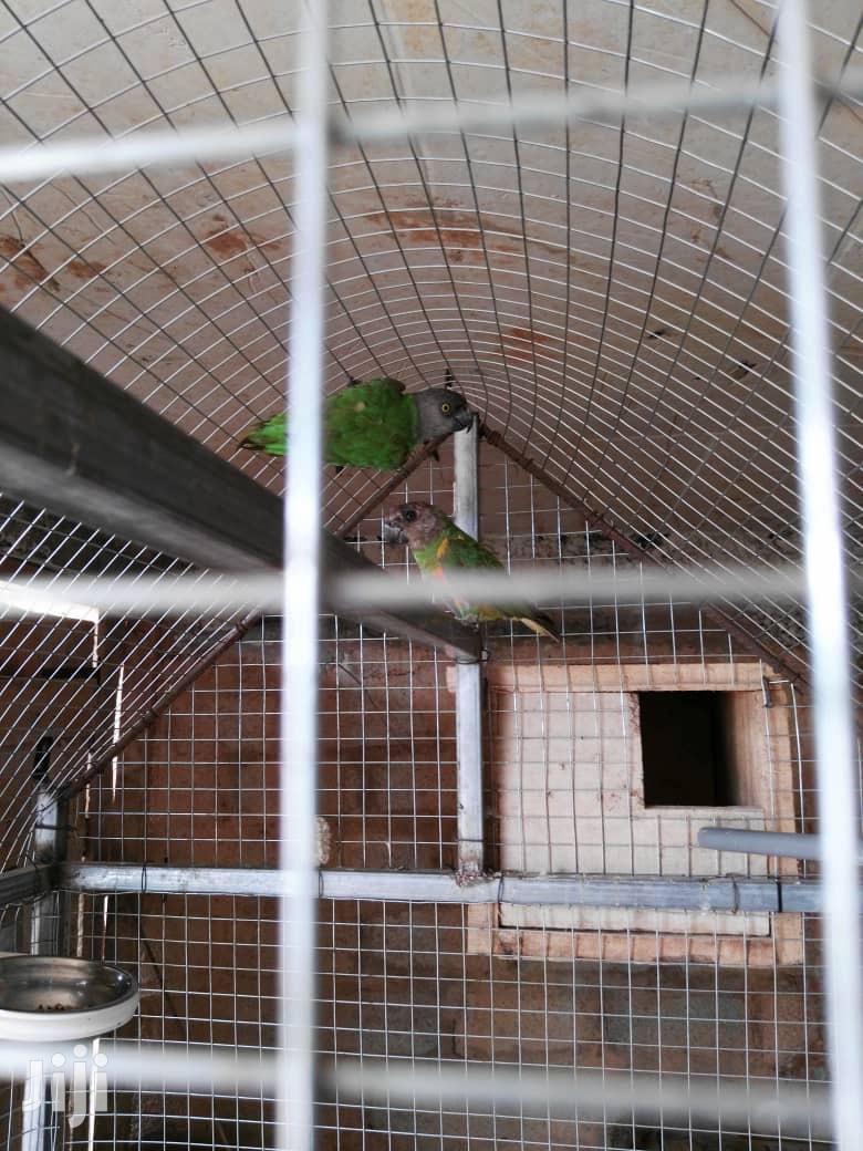 Senegales Parrots | Birds for sale in Abossey Okai, Greater Accra, Ghana