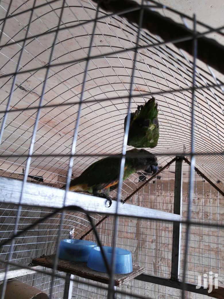 Senegales Parrots