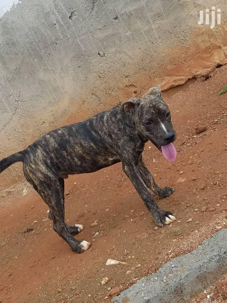 Baby Male Mixed Breed Bulldog | Dogs & Puppies for sale in Accra Metropolitan, Greater Accra, Ghana