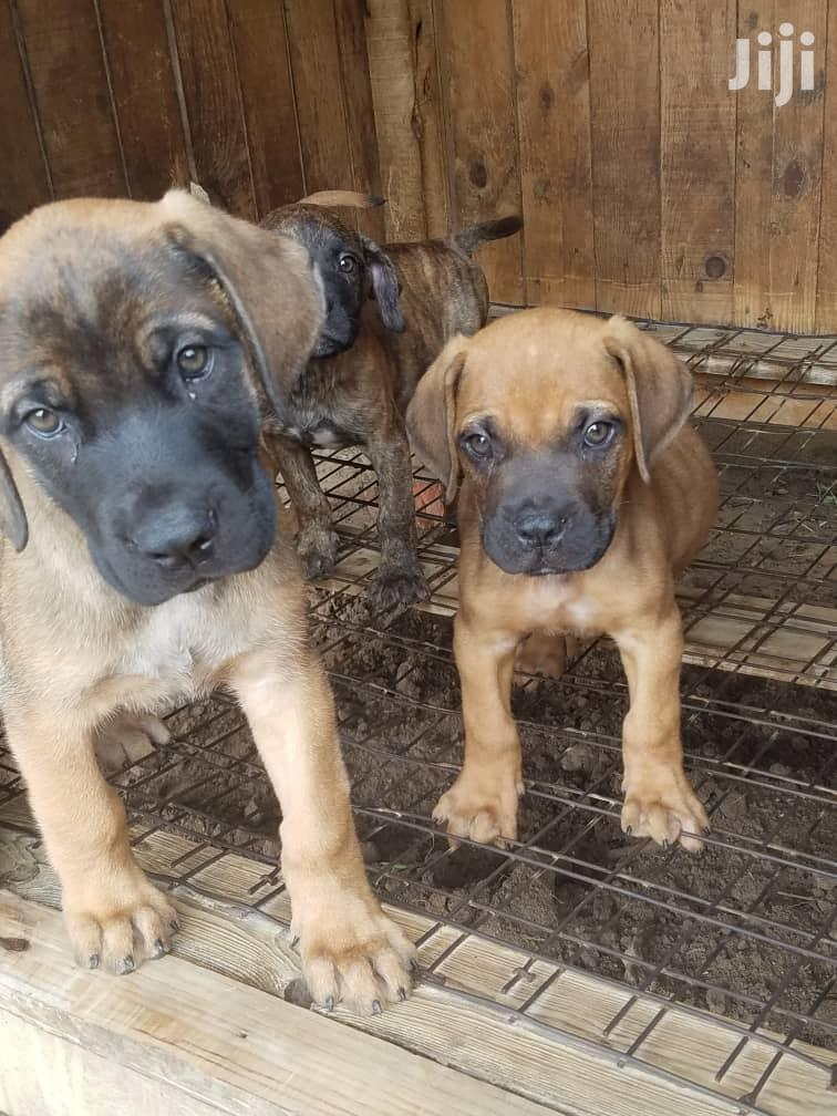 Baby Male Mixed Breed Bulldog