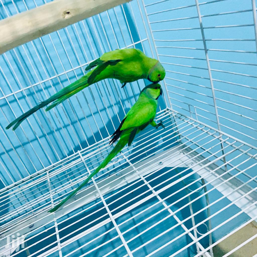 Indian Ringneck Parrot | Birds for sale in Dansoman, Greater Accra, Ghana