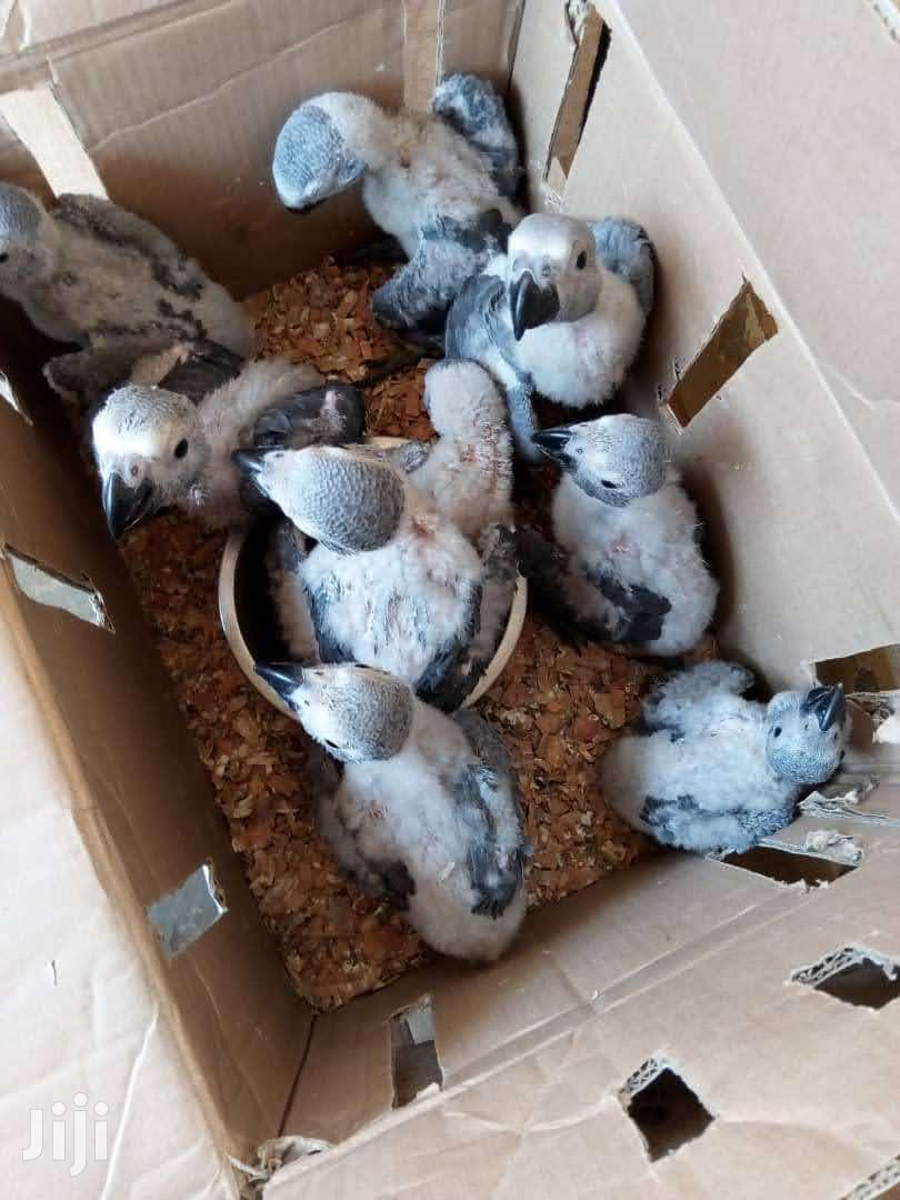 Congo African Grey Parrot BABIES | Birds for sale in Tema Metropolitan, Greater Accra, Ghana