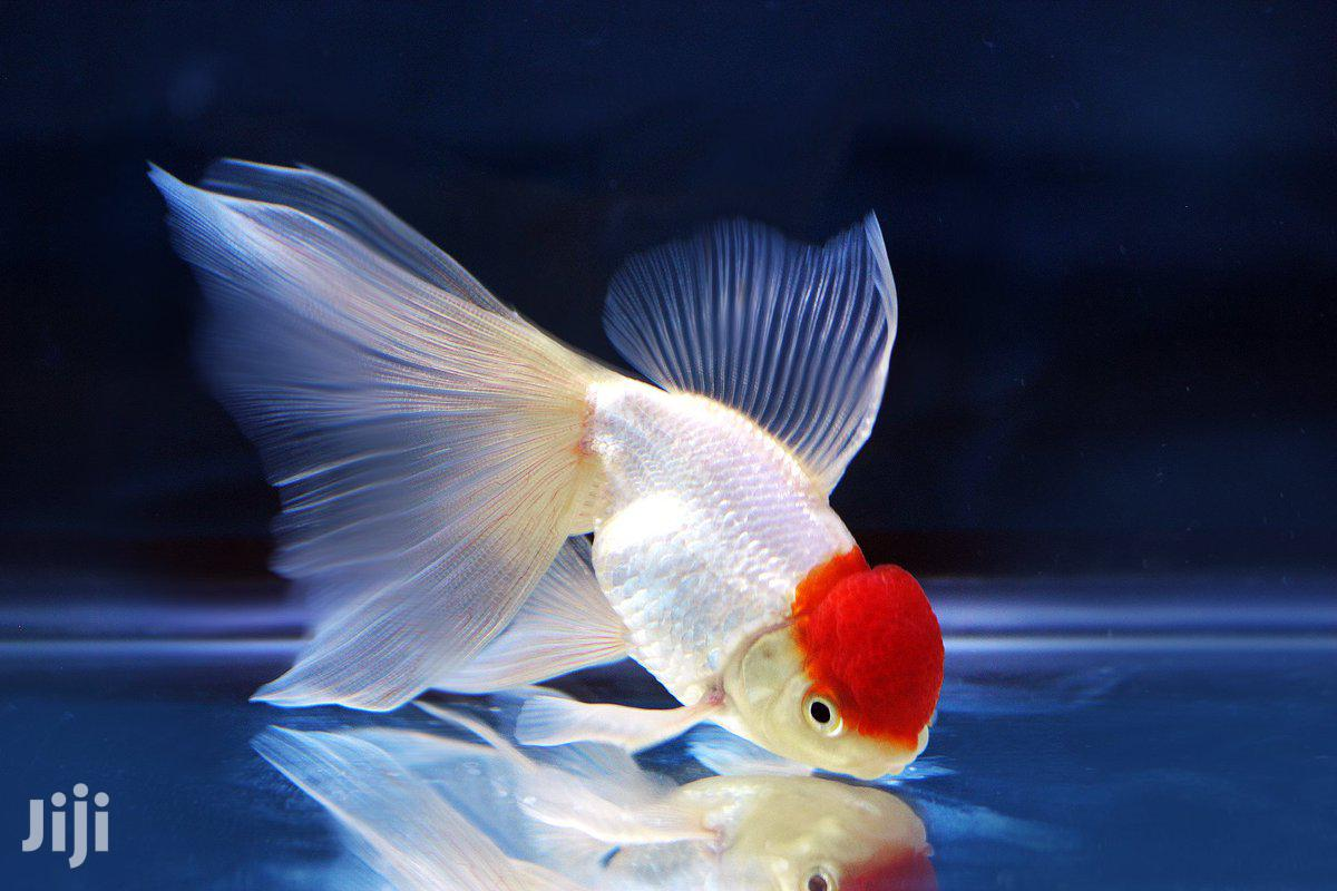 Redcap Oranda | Fish for sale in Kumasi Metropolitan, Ashanti, Ghana